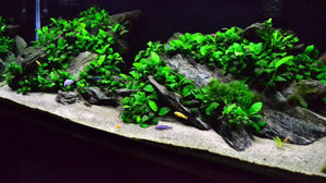 Live Aquarium Potted Plants: Anubias Barteri