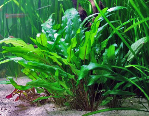 Live Aquarium Potted Plants: Cryptocoryne wendtii Green