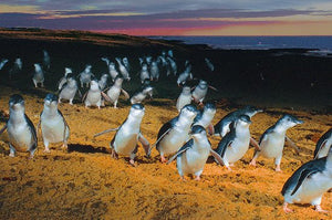 Discounted Phillip Island Penguin Parade Day Tour Deal - Melbourne