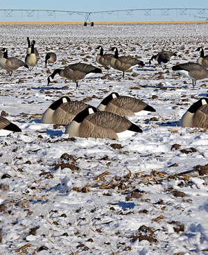 DOA Canada Goose Sleeper Shell Decoys