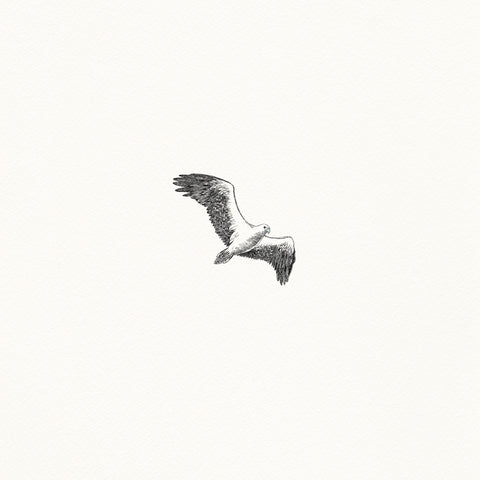 White-bellied Sea Eagle - Giclée Print