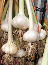 Load image into Gallery viewer, Elephant Garlic