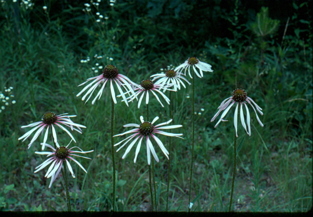 Echinacea pallida -Pale purple coneflower