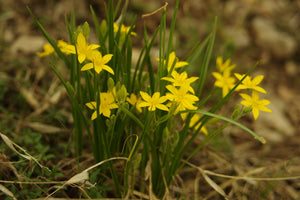 Hypoxis hirsuta-  Gold star grass