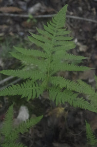 Thelypteris phegopteris - Long beech fern