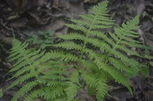 Load image into Gallery viewer, Thelypteris phegopteris - Long beech fern