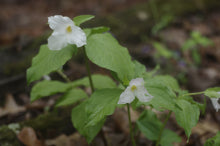 Load image into Gallery viewer, Trillium grandiflorum - great white trillium