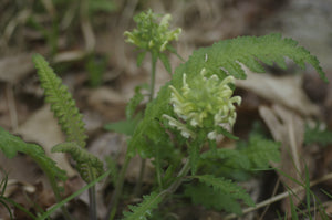 Pedicularis canadense-Wood betony