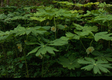 Load image into Gallery viewer, Podophyllum pelatum -May apple