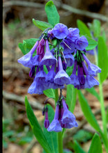 Load image into Gallery viewer, Mertensia virginica - Virginia bluebells