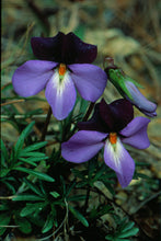 Load image into Gallery viewer, Viola pedata- Birds foot violet