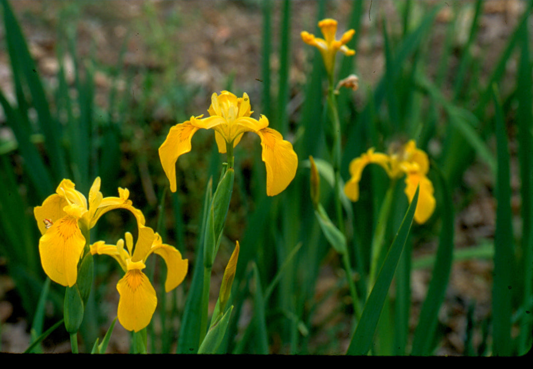 Iris pseudacorus - Yellow flag
