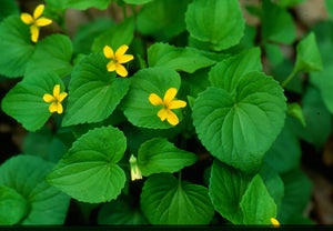 Viola pennsylvania - Yellow violet