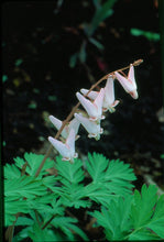 Load image into Gallery viewer, Dicentra cucullaria -  Dutchmens breeches