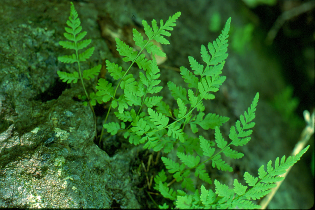 Cystopteris fragilis - Fragile bladder fern