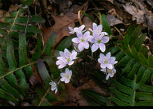 Load image into Gallery viewer, Hepatica triloba- three leaved hepatica