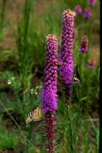 Load image into Gallery viewer, Liatris pycnostachya - Cattail liatris