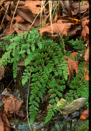 Cheilanthes lanosa - Wooly- lip fern