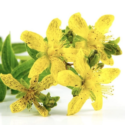 St John's Wort Infused Oil | 聖約翰草浸泡油