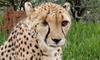 Farewell to Amani at  Cheetah Conservation Fund