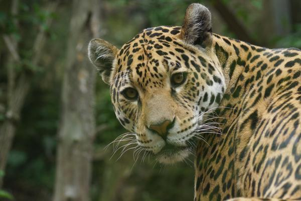The 1st International Jaguar Day!