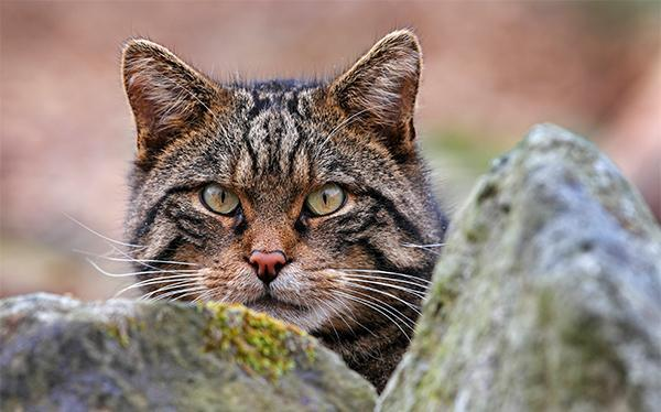 New Hope for World's Rarest Cat | The Scottish Wildcat