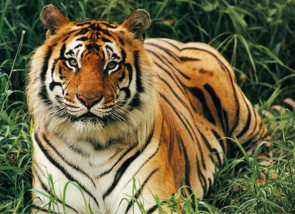 Protecting Tigers in Thailand |Global Tiger Day