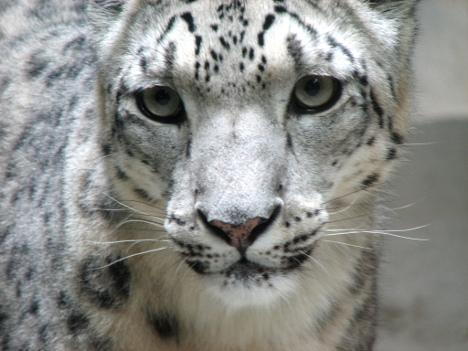Snow Leopard Research Camera Adoption