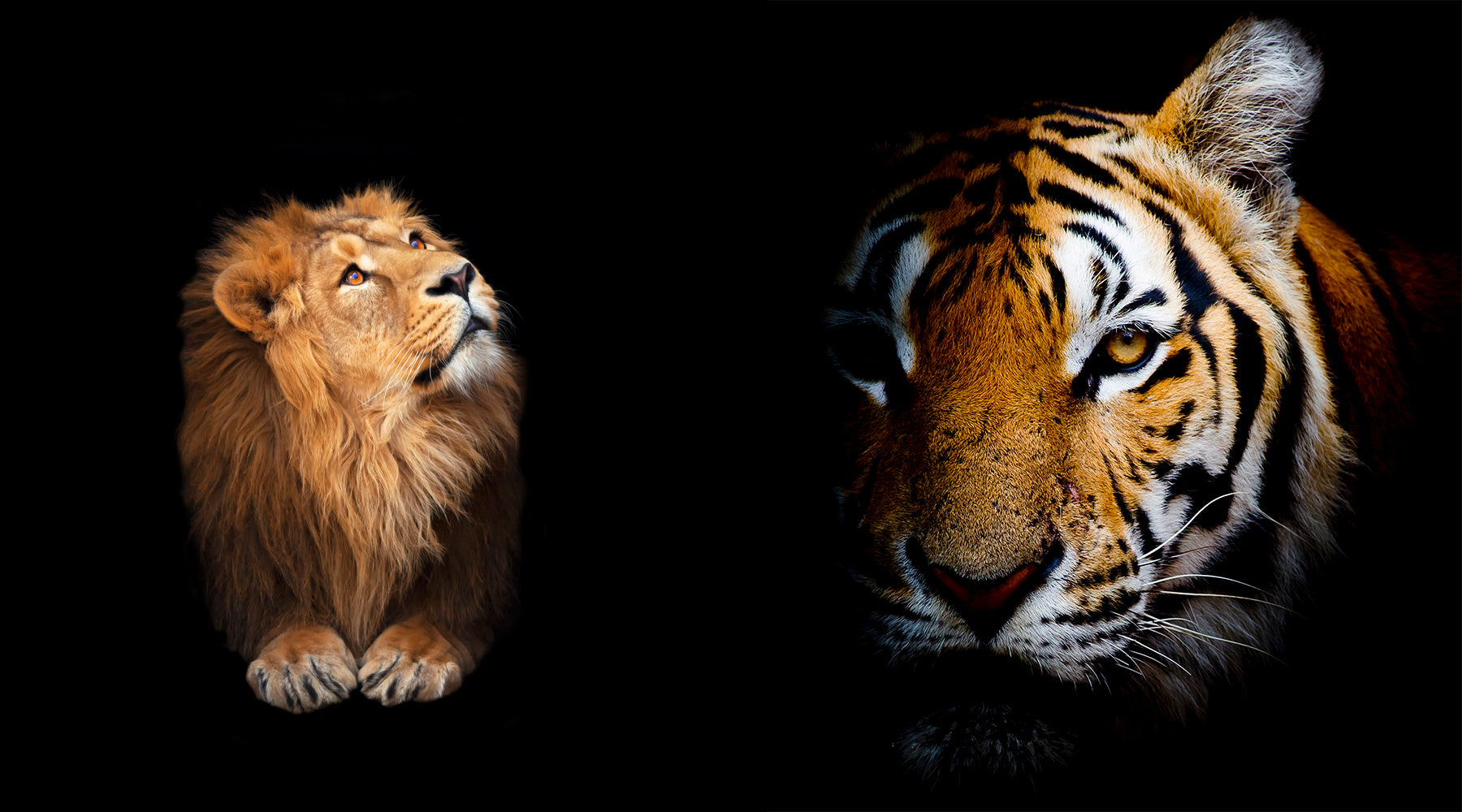 Lion and Tiger on Black Background.  Vanishing Species Collection