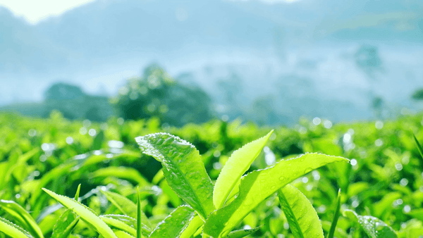 Green Tea Benefits for Skin: How Green Tea Extract Helps Your Skin