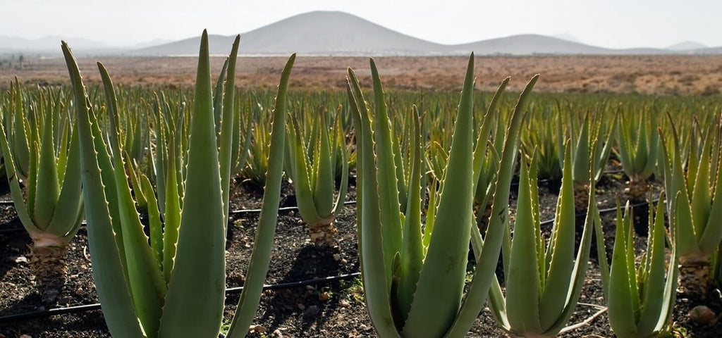 aloe vera benefits - what does aloe vera do in skincare dope skin co hemp skincare