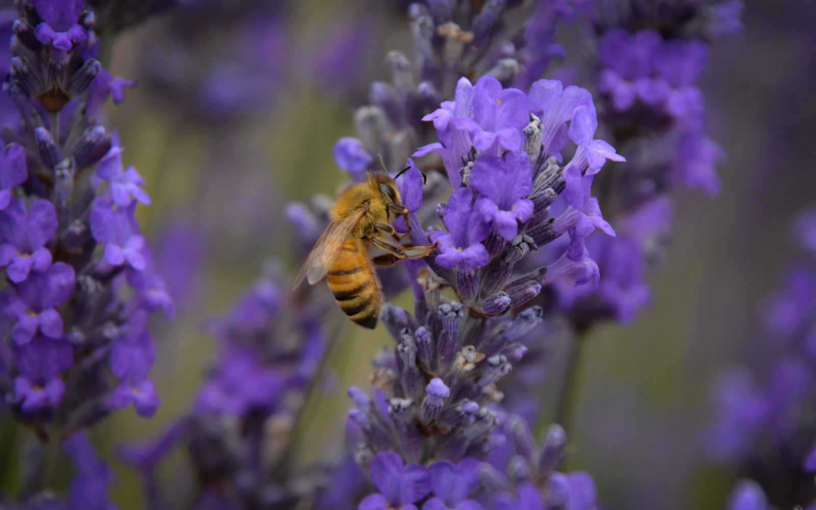 Close up of bee on organic lavender