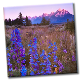 Lupine Meadow (Coaster)