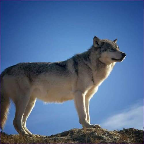 Sole Wolf Journey Reiki And Meditation