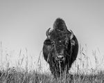 Black & White Oklahoma Bison Photo Print | Tyler Thomason Photography