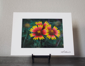 Indian Blanket Wildflower Matted Print