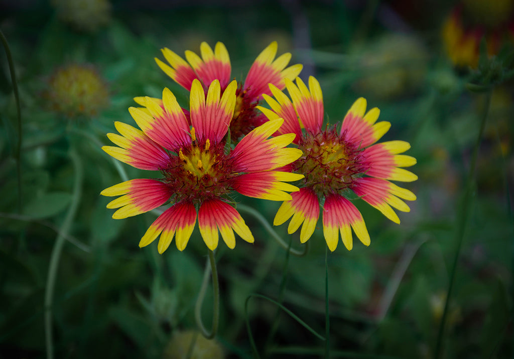 Indian Blanket Wildflower, also known as Oklahoma Firewheel, Oklahoma state wildflower
