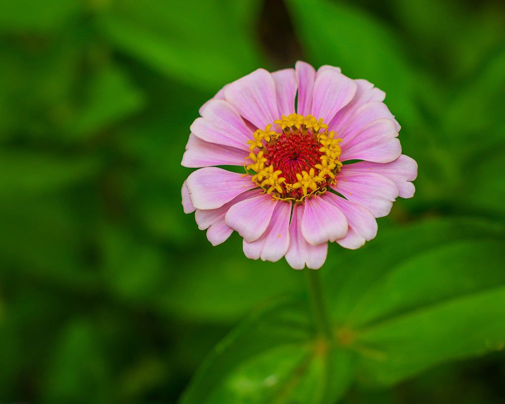 Pink Zinnia Flower, floral photography print