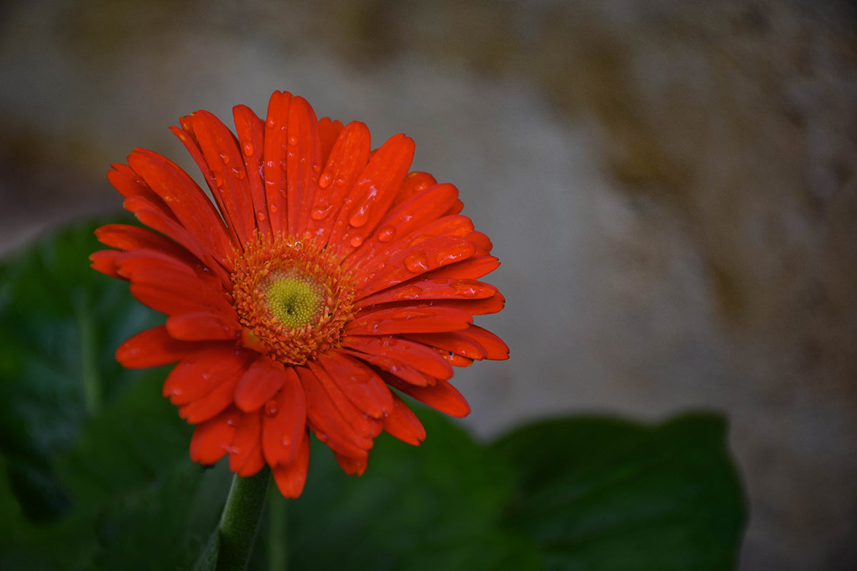 Red Daisy Floral Photo Print | Tyler Thomason Photography