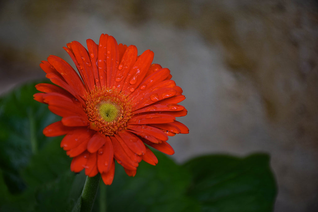Red Daisy Flower photograph