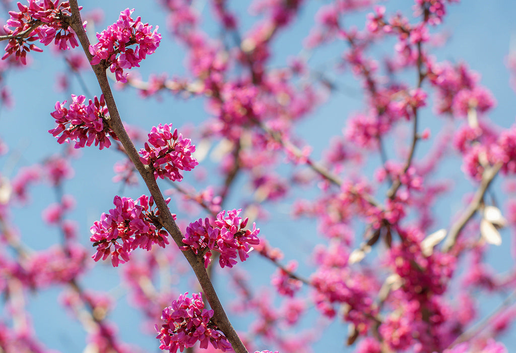 Oklahoma Redbud Tree Photo Print | Tyler Thomason Photography