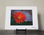 Red Daisy Floral Matted Photo Print