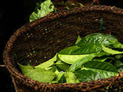 Whole South American guayusa leaves in a basket during harvest