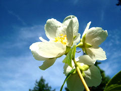 Jasmine flowers are used to make scented teas, as well as rose, orchid, marigold and citrus blooms.