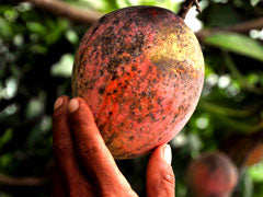 A ripe mango on a tree during harvest.