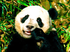 Panda poop used to fertilize soil for tea.