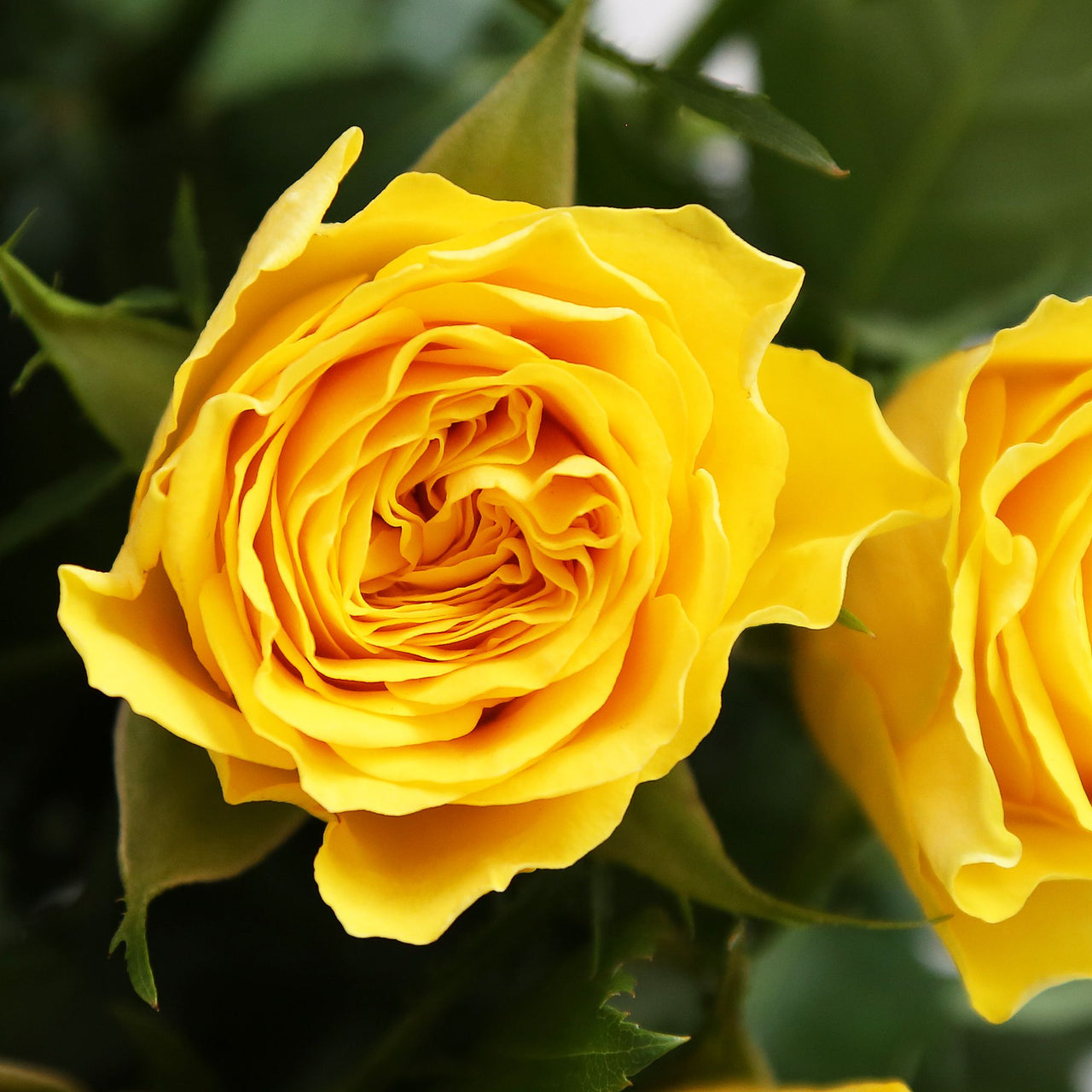 24 Fairtrade Yellow Roses