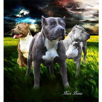 Blanket Queen Seven Stars Signature- Wolf Ct- Pitbull 3 Guardians
