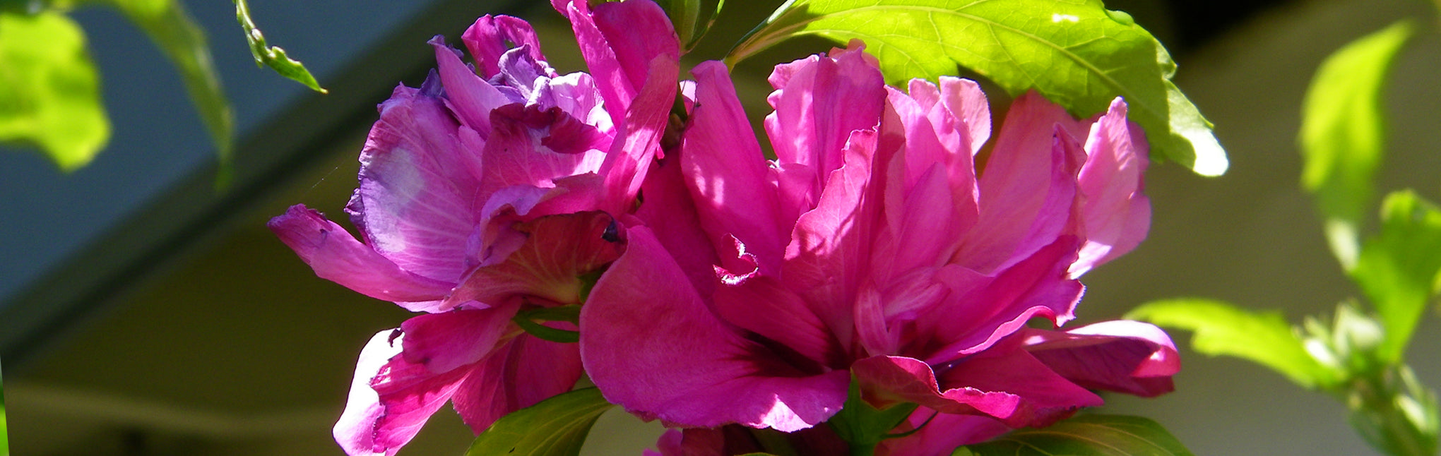 Althea Planting Guide Plant Me Green