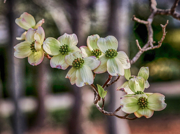 Easter And The Legend Of The Dogwood Tree Plant Me Green